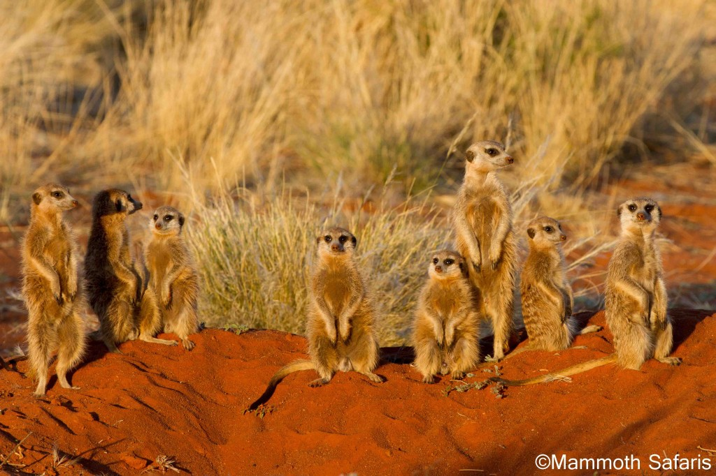 One of the highlights at Tswalu is spending time with the meerkat's. In the late afternoon they head back to the safety of the burrow but before they go down they spend a few moment gathering the warmth of the sun. This is a fantastic photographic opportunity for any enthusiast or amateur.