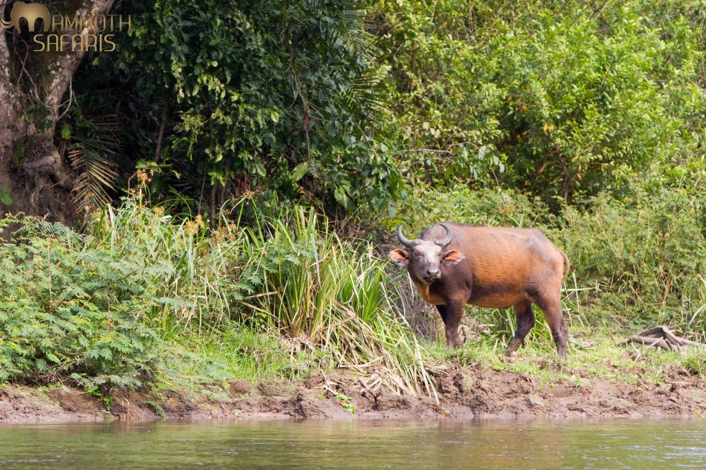 We spent a morning on a boat on the Lekoli River which is a great way to see birds and animals. This Forest Buffalo allowed us to get a few photos before moving off.