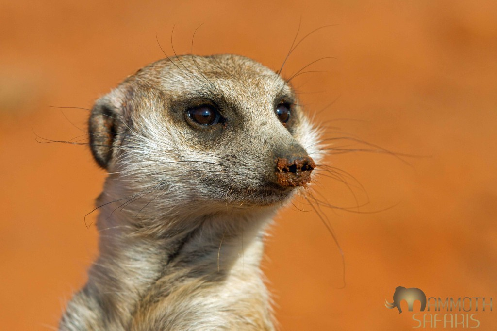 One of my favourite things to do at Tswalu is spend time with these magnificent little creatures. The habituated groups of meerkats provide hours of entertainment and a brilliant photographic opportunity.