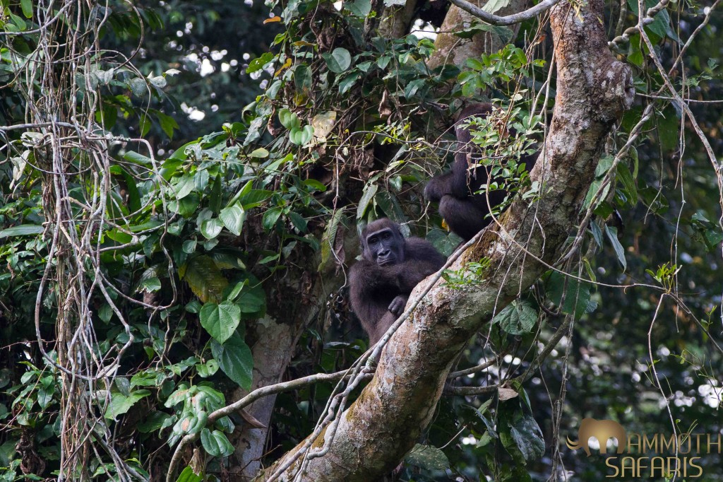 It is not always easy to get a good sighting of the lowland gorillas, after hours of tracking and some patience we got to see some incredible interaction between these two individuals.