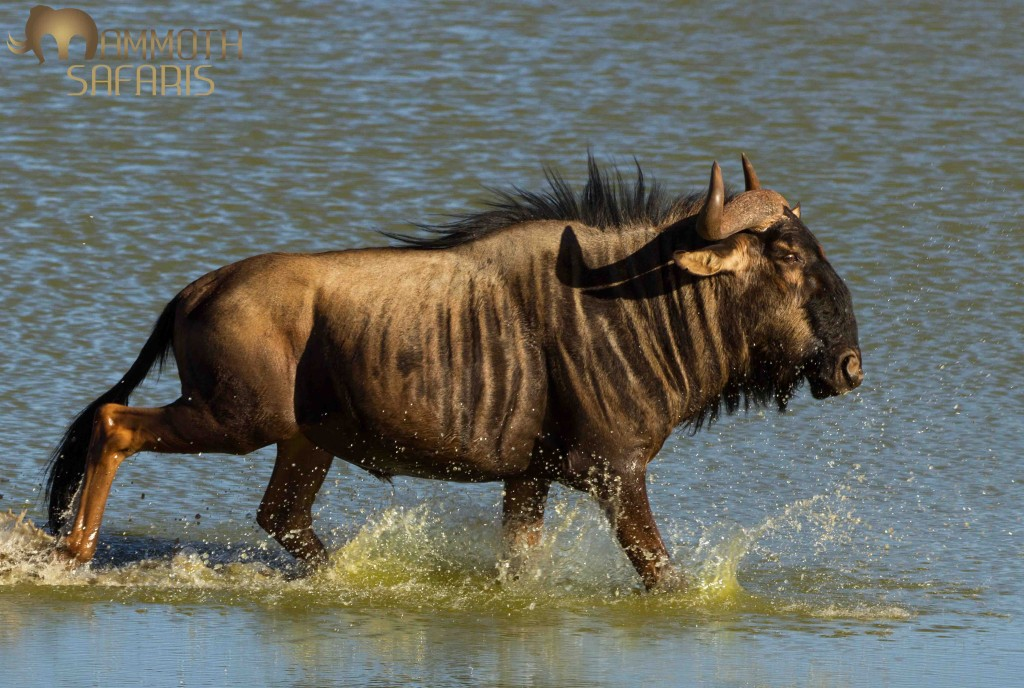 We watched a small group of wildebeest come down to drink at a small waterhole. It was a windy day and a gust of wind spooked them and they ran right through the water.