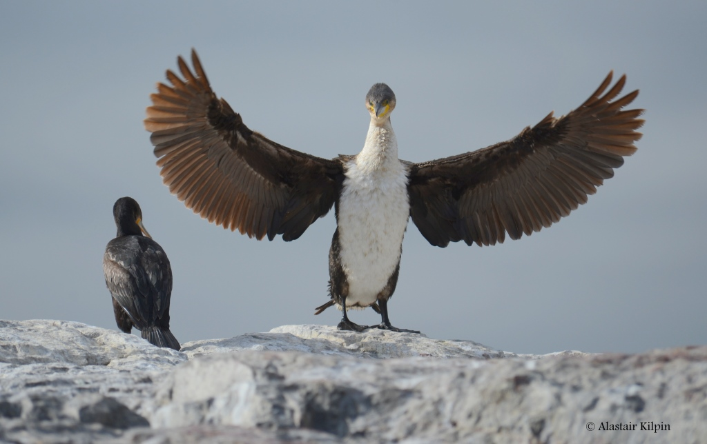 intimidating White-breasted Cormorant  on the Cape Town coast
