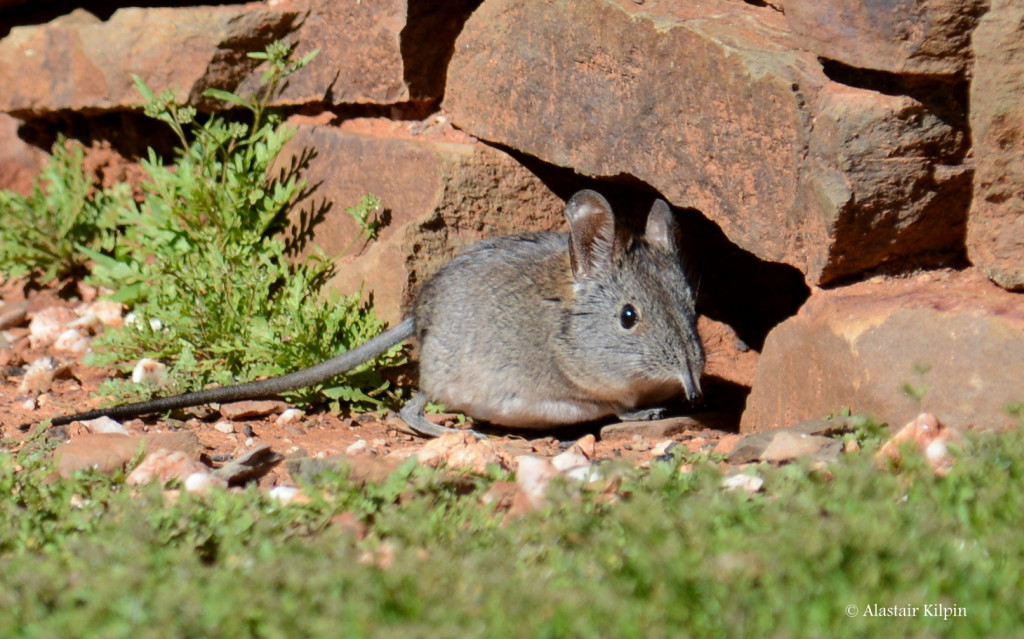 Elephant Shrew snapped near its shelter in the Little Karoo