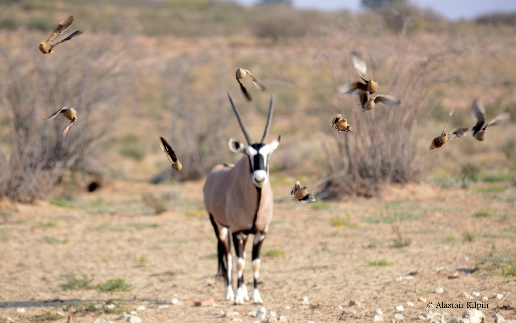 sandgrouse squadron coming at high speed to a waterhole in the Kalahari