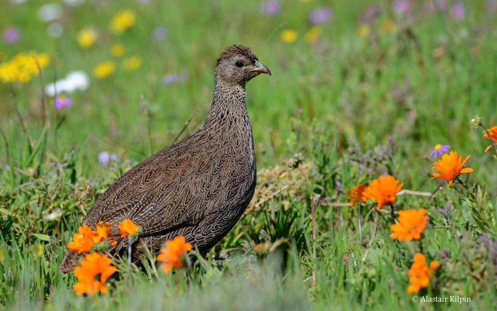 spurfowl and flowers - West Coast National Park