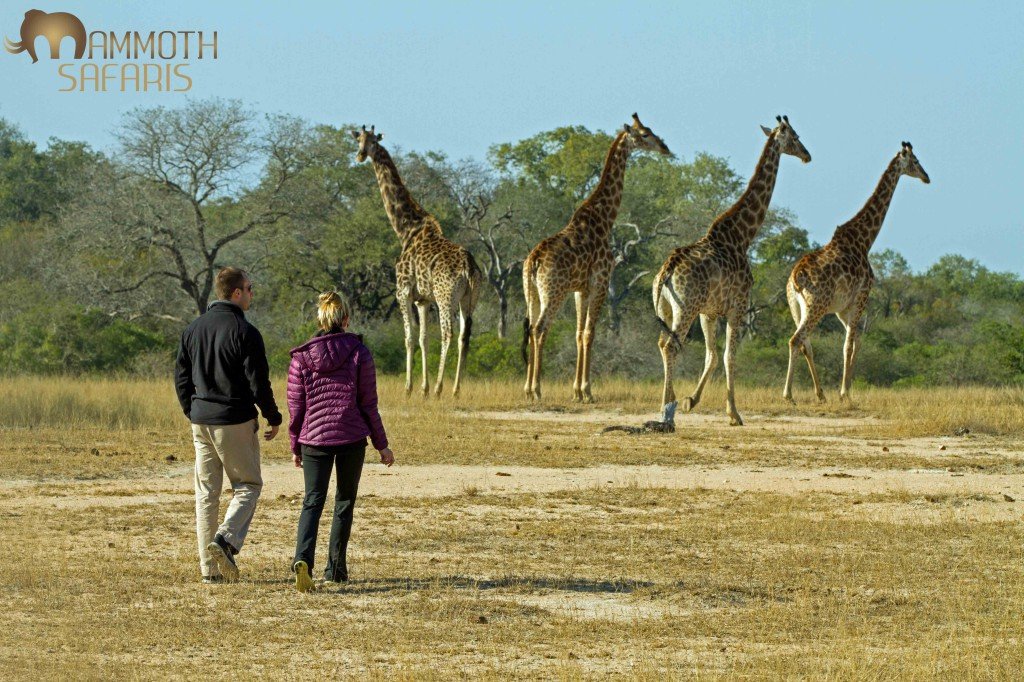 There is a magical moment that happens when you invite people to get off the vehicle and to walk amongst a journey of giraffe. Their faces start with a fascinating look of disbelief morphing into a child like gleam on Christmas morning. It really is a wonderful experience and a allows one to experience  just how tall these giants are.