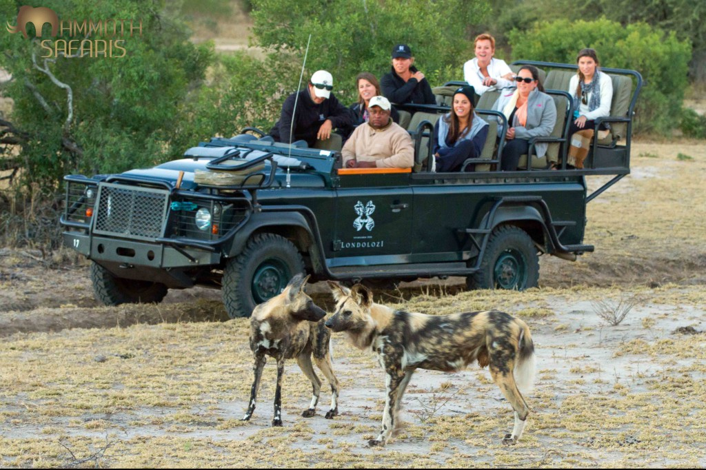 We were extremely fortunate to see a pack of wild dogs on our first afternoon. We spent some time trying to track them so it was really rewarding to find them and watch their natural behavior and eventually seeing them on an impala kill.