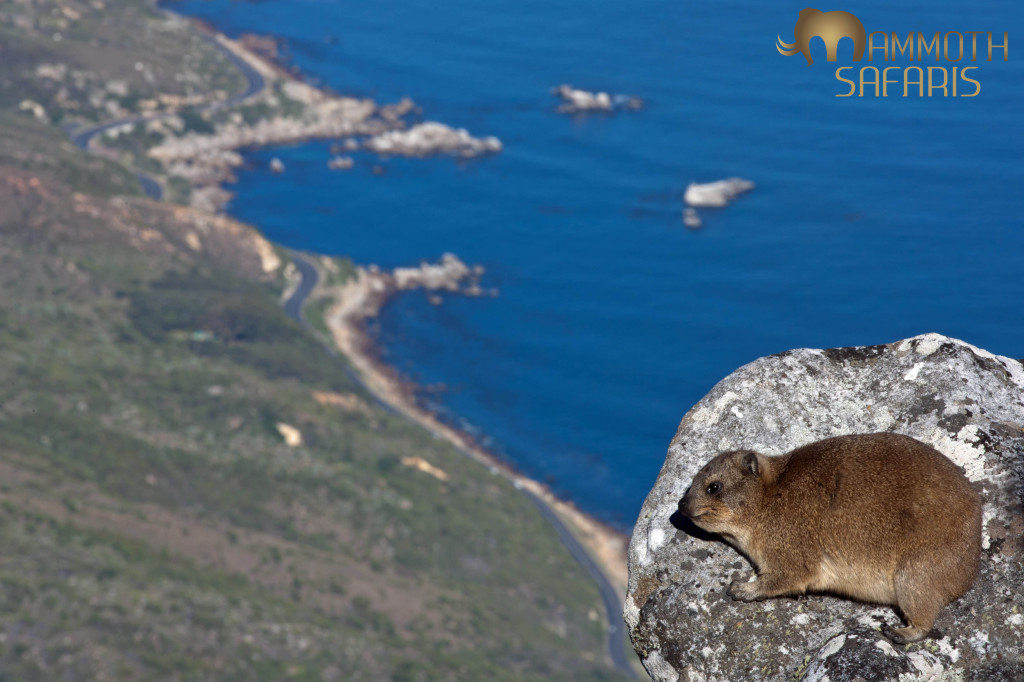 Rock Hyrax enjoying the view  from the top of Table Mountain. These cute little animals spend their mornings basking in the sun much to all the photographers delight.