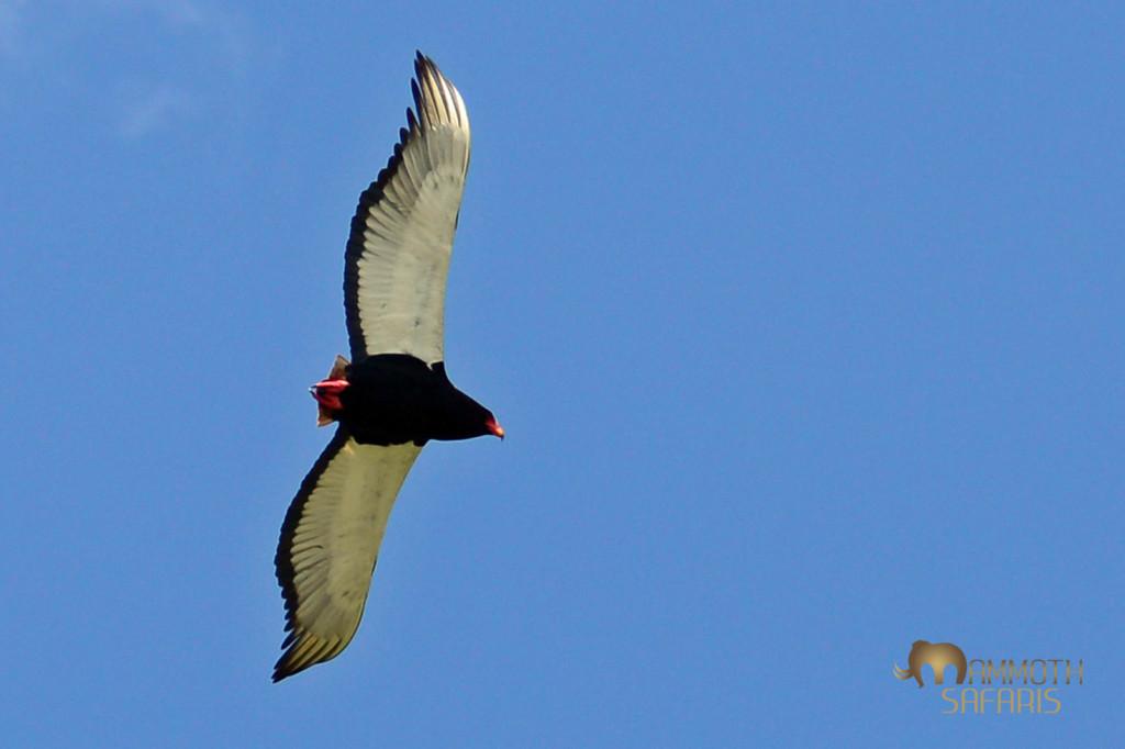 the 'joker' of eagles in the savanna skies