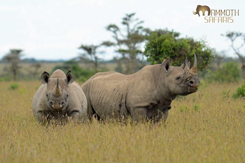 rhinos and oxpeckers - Ol Pejeta