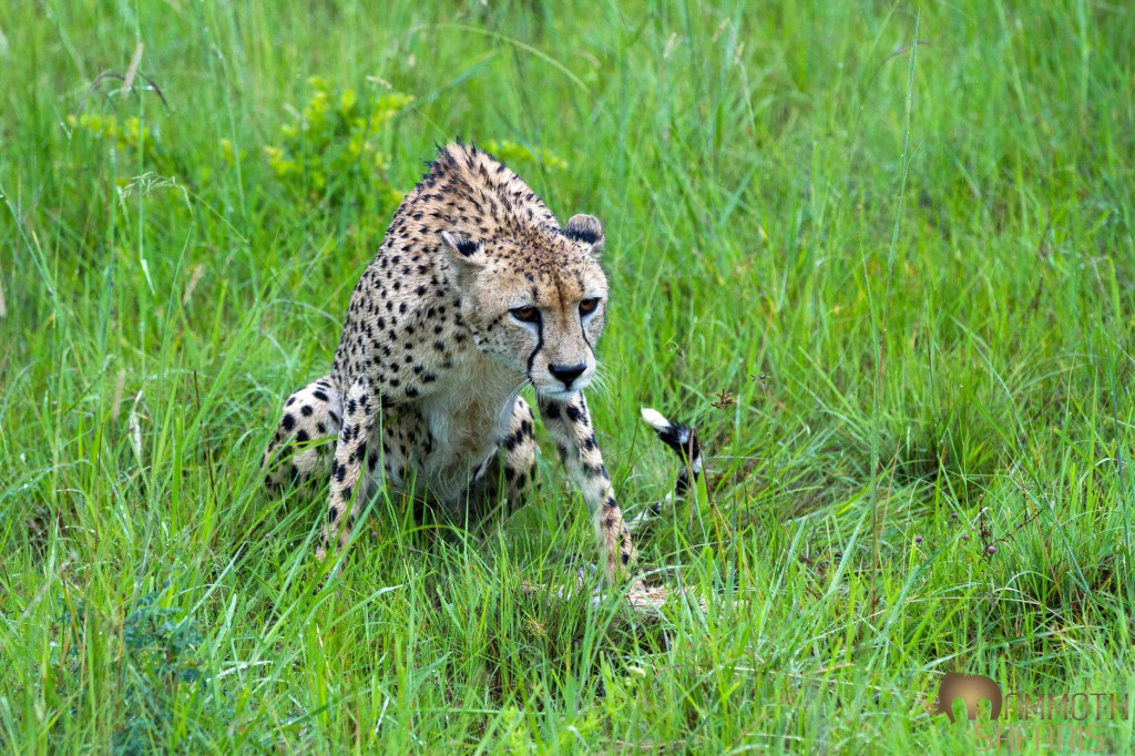 Cheetah, Savanna, Sabi Sands