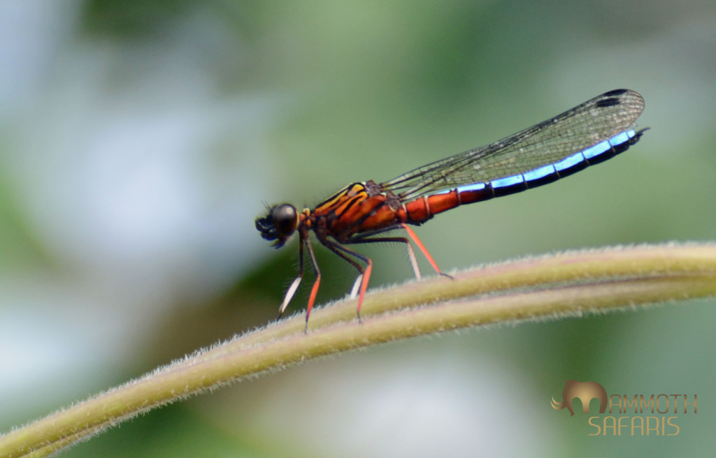this is one of Africa's most attractive dragonflies - photographed along the Ewaso Nyiro River