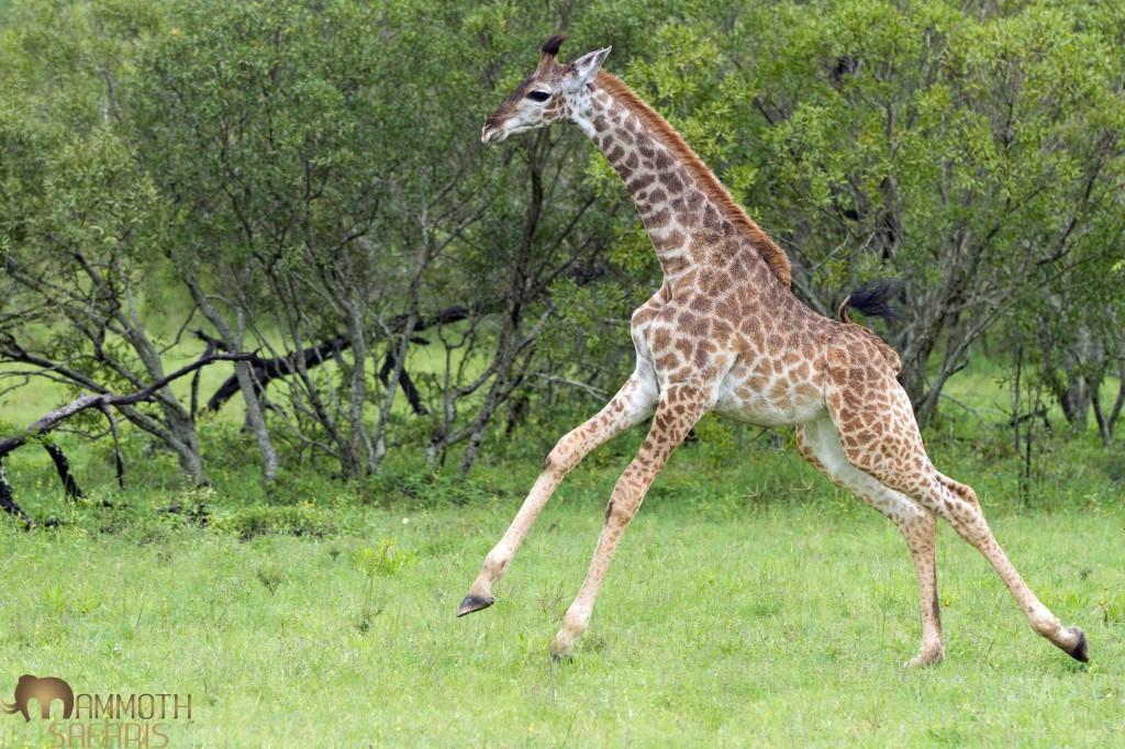 Giraffe, Savanna, Sabi Sands