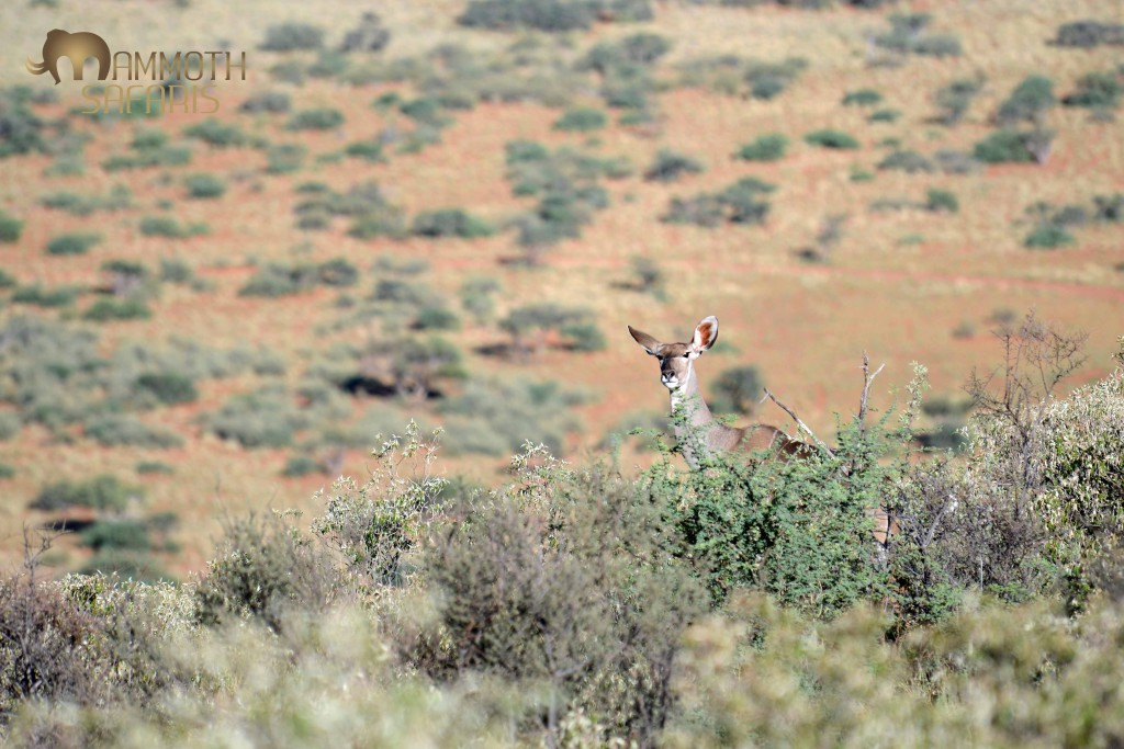A female Kudu peers at me from the ridge