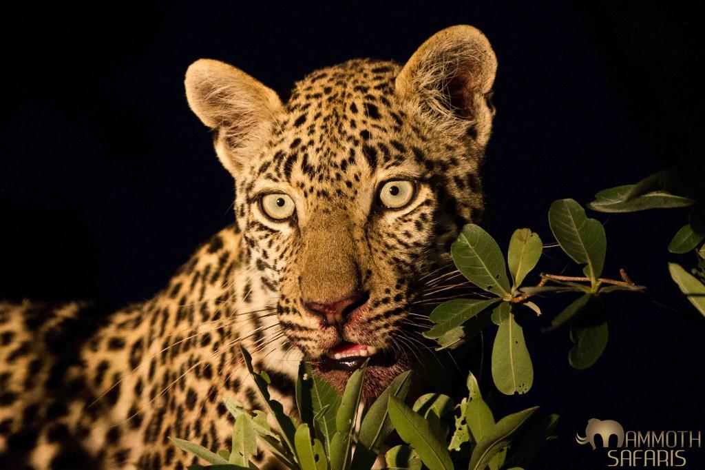 Leopard, Savanna, Sabi Sands