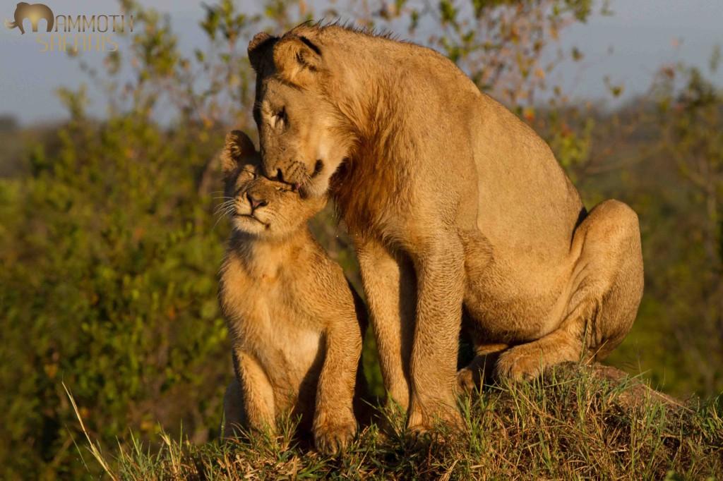 Lion, Savanna, Sabi Sands