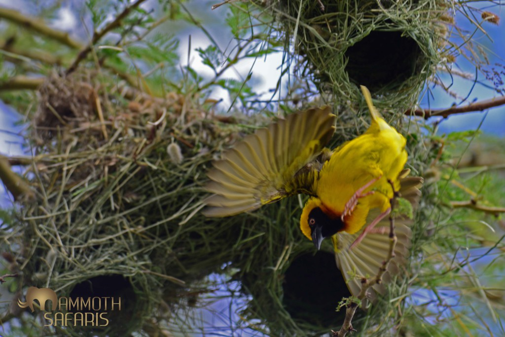 a male Speke's Weaver attending his nests within the colony