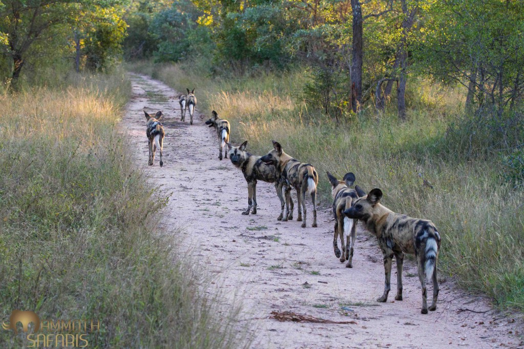 Wild Dog, Savanna, Sabi Sands