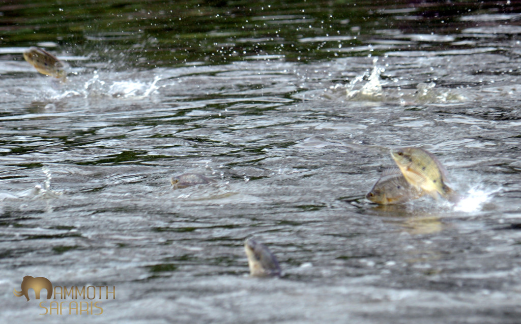 I simply could not get decent photos of these fish as they fled the hunting crocodile.