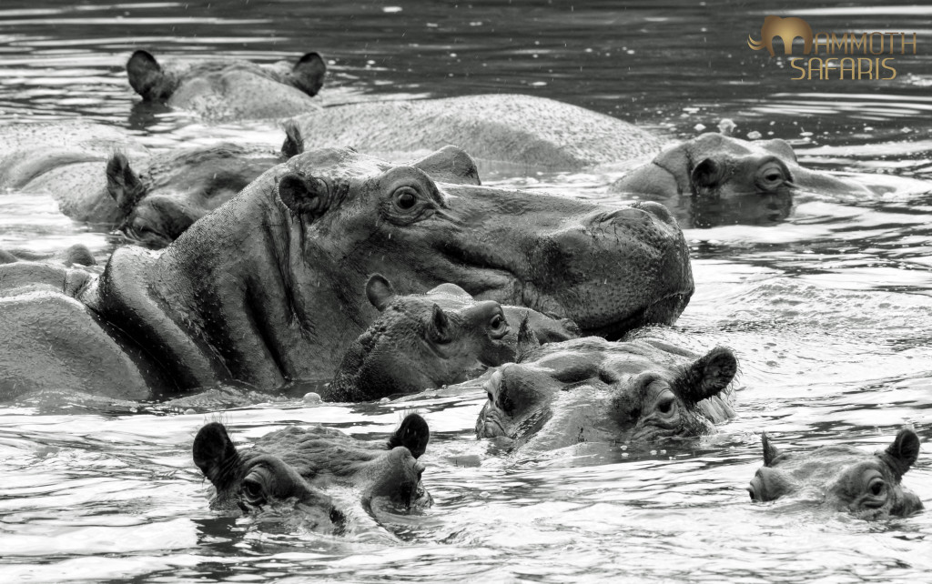 There are superb hippo viewing opportunities by vehicle and on foot along the Nwanetsi River