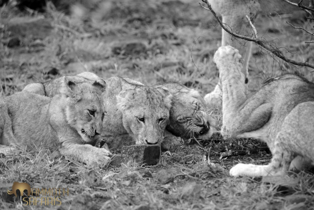 We found a rather lean-looking pride of lions on the Mozambique boundary. Here the cubs were fighting over  sinew and a chance to lick the ground...desperate times indeed.