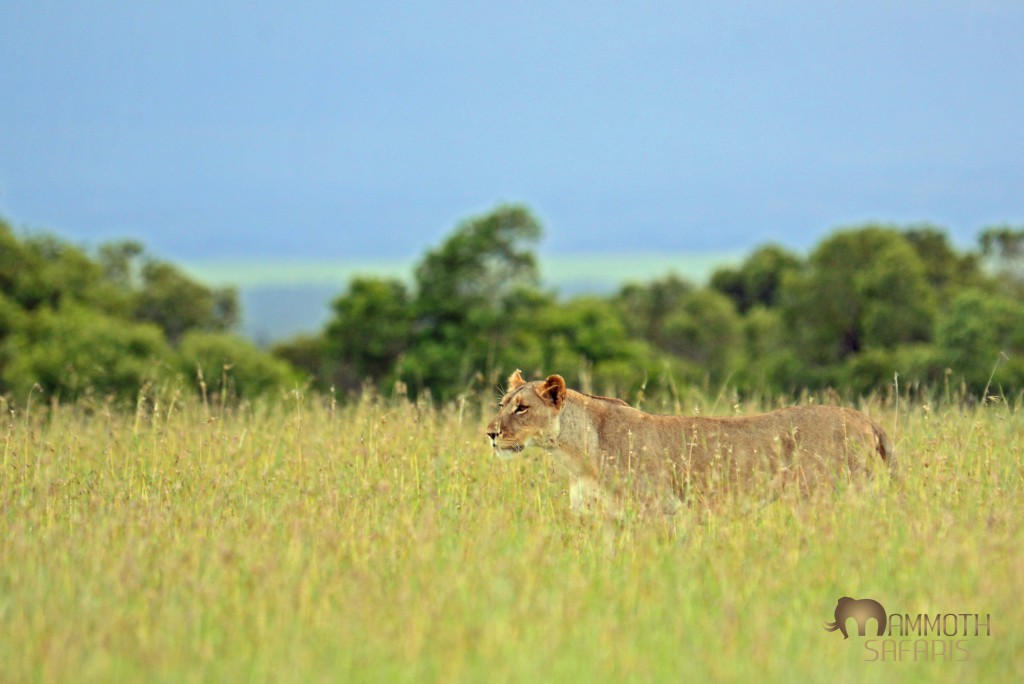 one of many lion we saw hunting the open plains at Ol Pejeta Conservancy