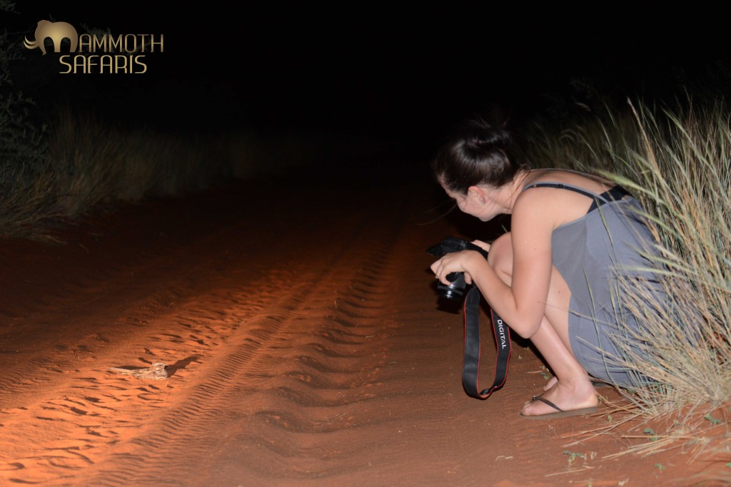 Photographing a Rufous-cheeked Nightjar on the red sand track