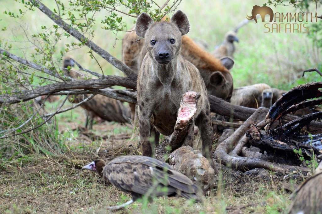 We sat for ages watching the hyenas devour the giraffe bone by bone - the vultures just waited for marrow to shoot out as they fed.