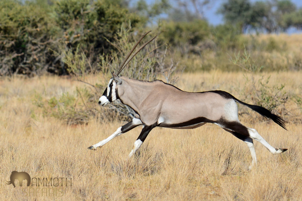 If there is one wildlife reason that stands alone for visiting Sossusvlei and the Namib Rand, it is the Gemsbok What a magnificent antelope!