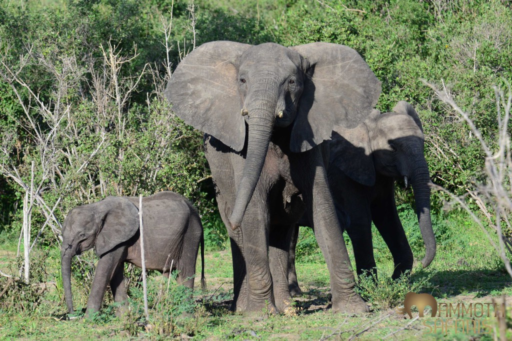Despite the fact that this vast game reserve has again become a killing field for these magnificent animals, we did manage daily sightings of small family groups in the miombo and along the river.