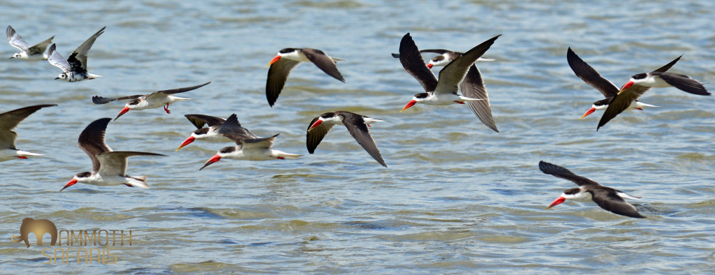 These African Skimmers represent wild Africa to me as they only survive where the natural  seasonal flooding on large rivers is still in tact. To watch them feed with beaks cutting the water is special.
