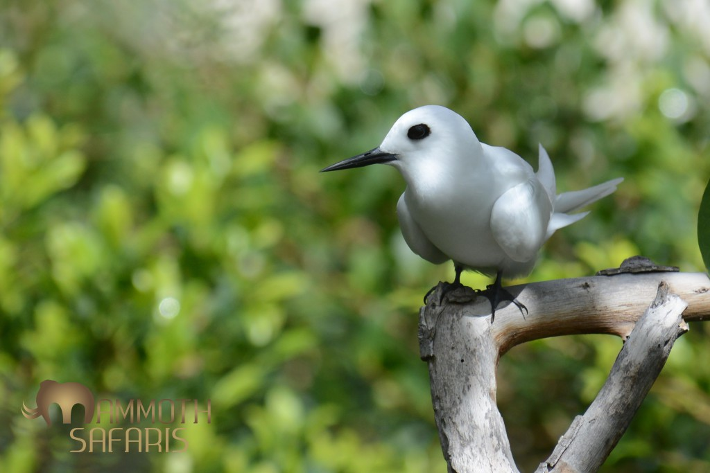 No post about St. Helena could be without one of the star avian attractions, one of my favourite fliers, the Fairy Tern