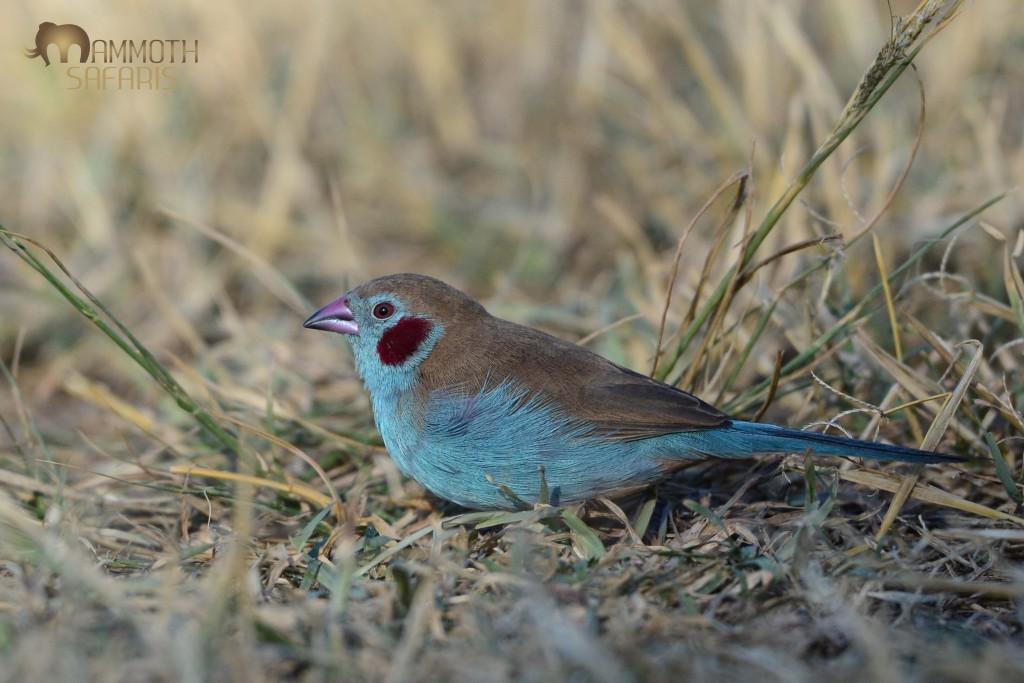This is definitely the best bird shot of the trip. A very confiding male Red-cheeked Cordon-bleu fed for ages within lens-range.