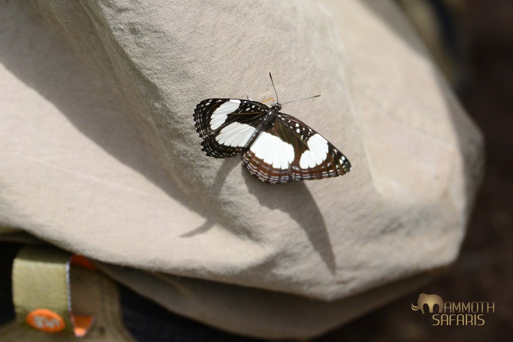 This Sailor butterfly landed on Mark's leg during a bush walk along the Ewaso Nyiro River - clearly sipping sweat from his pants!