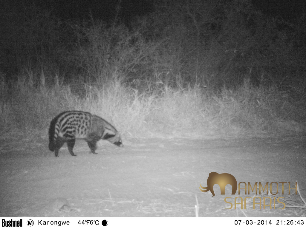 I always enjoy finding African Civet on a night safari - for me it is a sign of a healthy environment