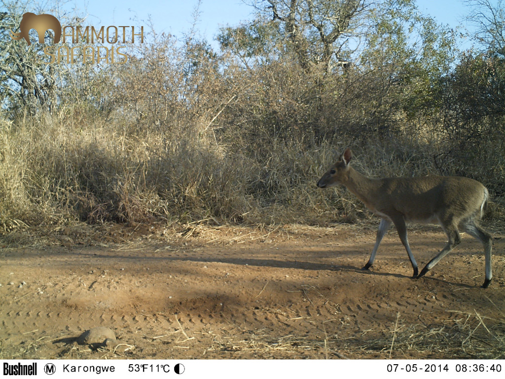 I assume this Common Duiker was headed for a morning drink at the waterhole