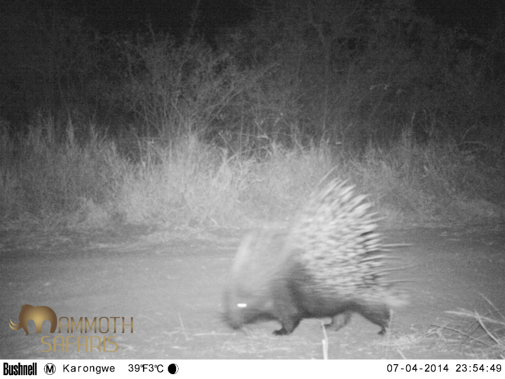 Although the porcupine is actually quite common, you don't get to see them too often unless they are raiding the camp veggie garden.
