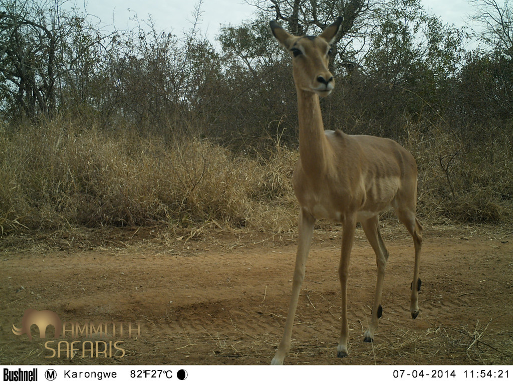 This female impala must have sensed something out of place on the tree - she is very alert