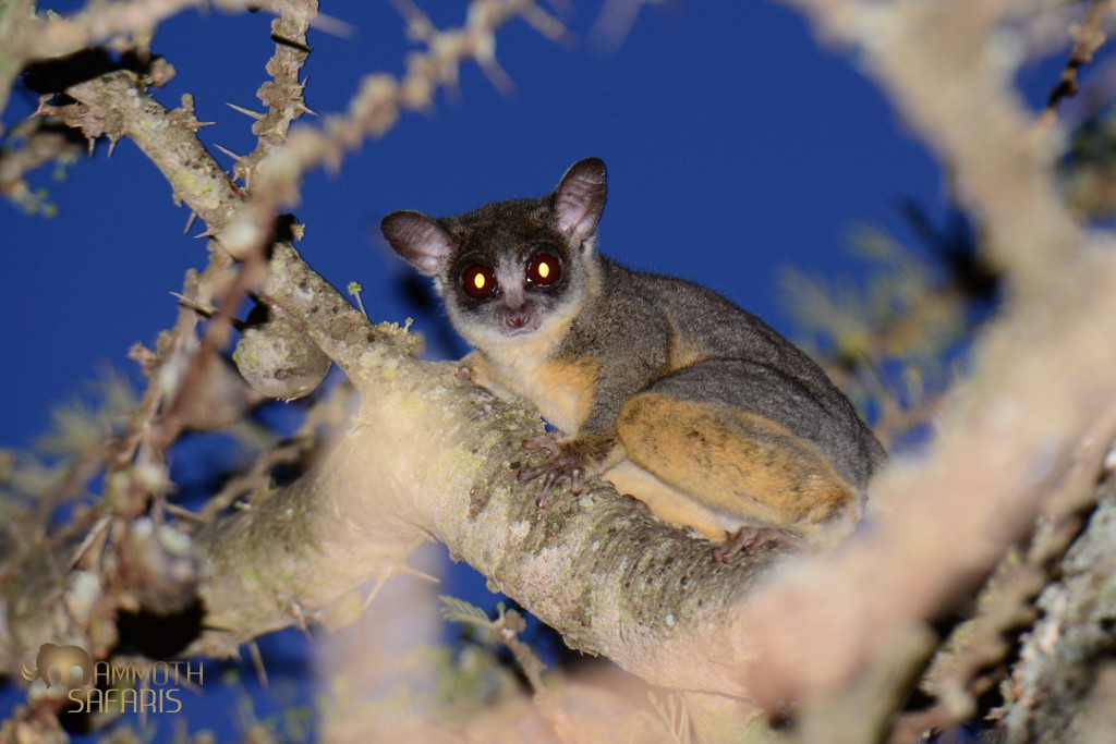 This cute bushbaby can be tricky to photograph in the thorn trees with no natural light. I spotted this one in silhouette as it emerged just minutes after sunset.