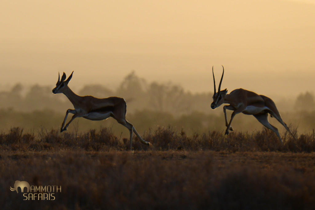 Some patience before sunset was rewarded when a young male Grant's Gazelle decided to put in a big effort to court a female.
