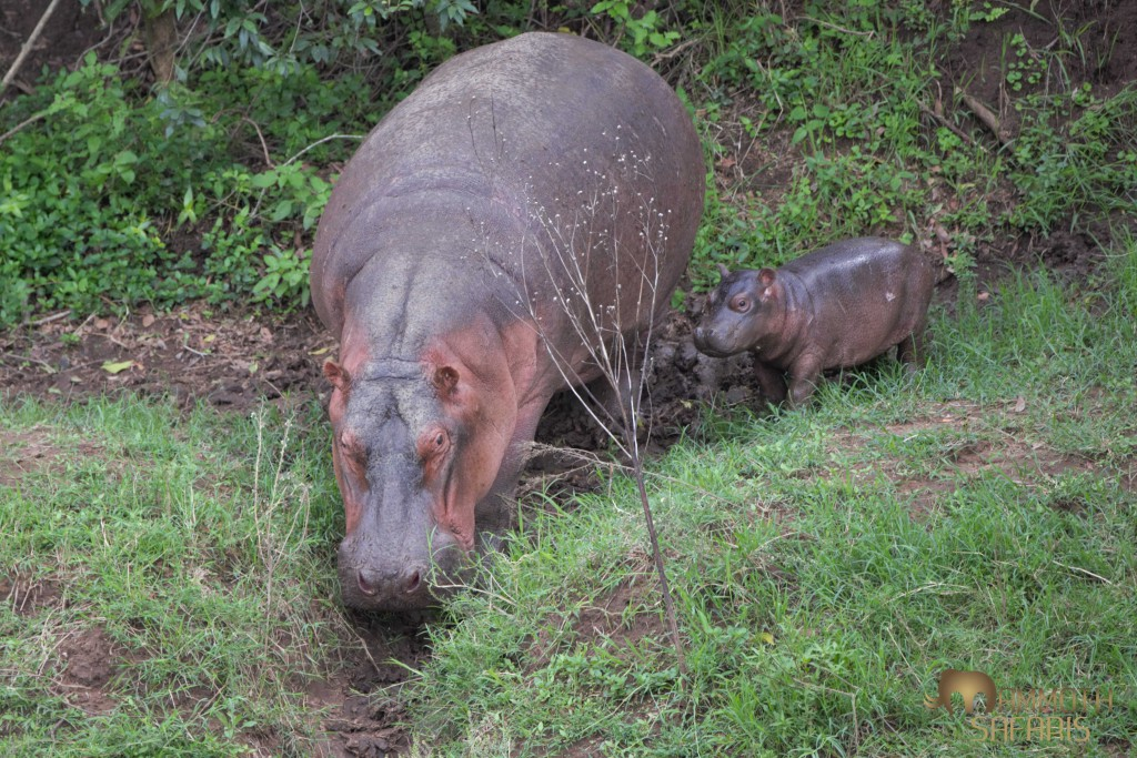 We had a special sighting of a female hippo bringing her young calf from out of the riverine forest back into the Mara River