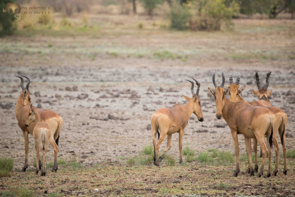 The awkward but beautiful Lelwel is one of about 8 subspecies of Hartebeest found in Africa. Herds appear to be thriving on the rich floodplains in the east of Zakouma.
