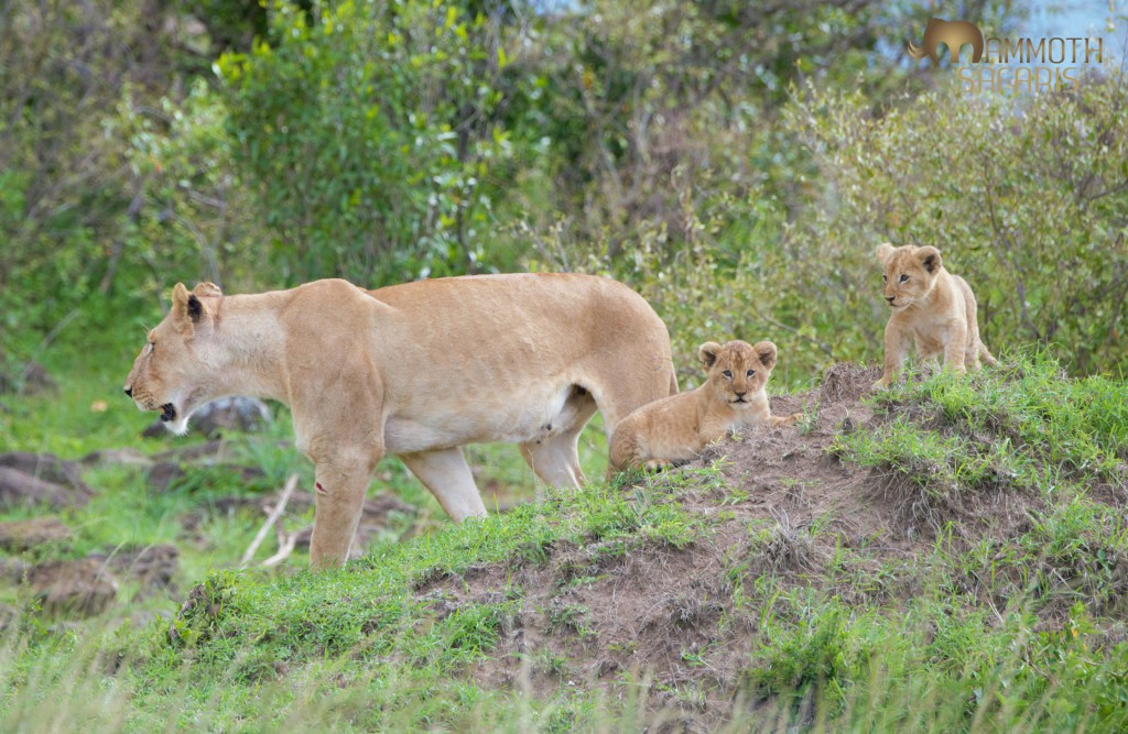 These young lions will have a real appetite by the time the wildebeest migration returns to the Mara.