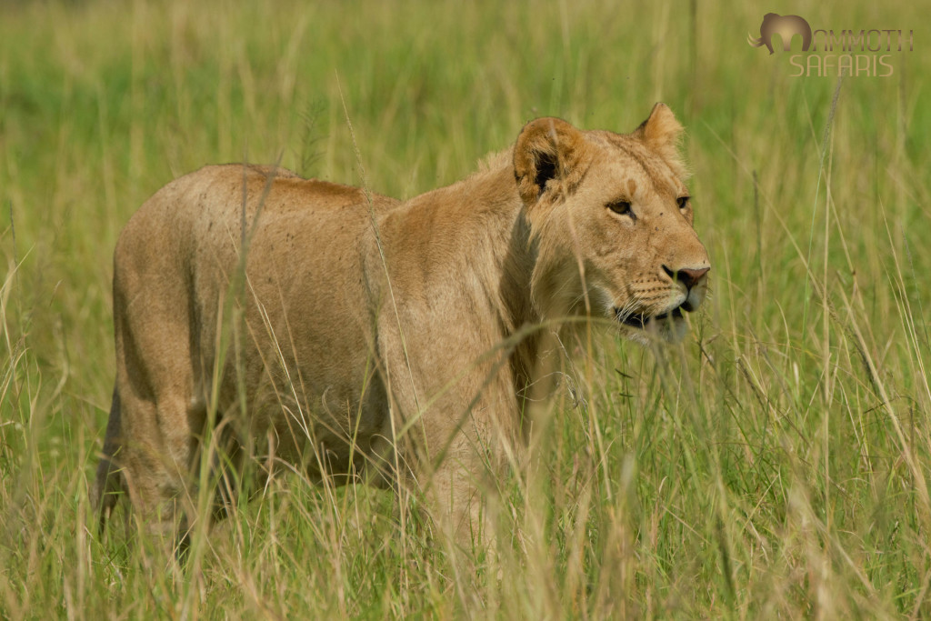 Whilst this is not the most arresting photo of a lion, I enjoyed his focus and motion through the long grass.