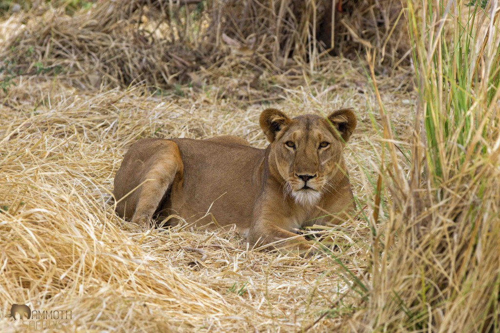 We had numerous lion sightings, mostly of small prides. What really stood out was how incredibly neat and clean these animals are. We assume from less intense competition between lions and also the tick-free environments that surround the wetlands.