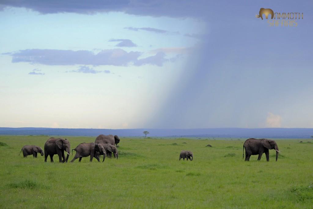 This is such a classic Mara scene in the rain season.
