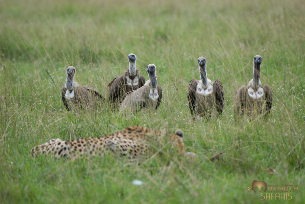 The first 5 of no less than 40 vultures that pressured and pushed this female cheetah off her gazelle kill right in front of us (we only saw one other vehicle this day!).