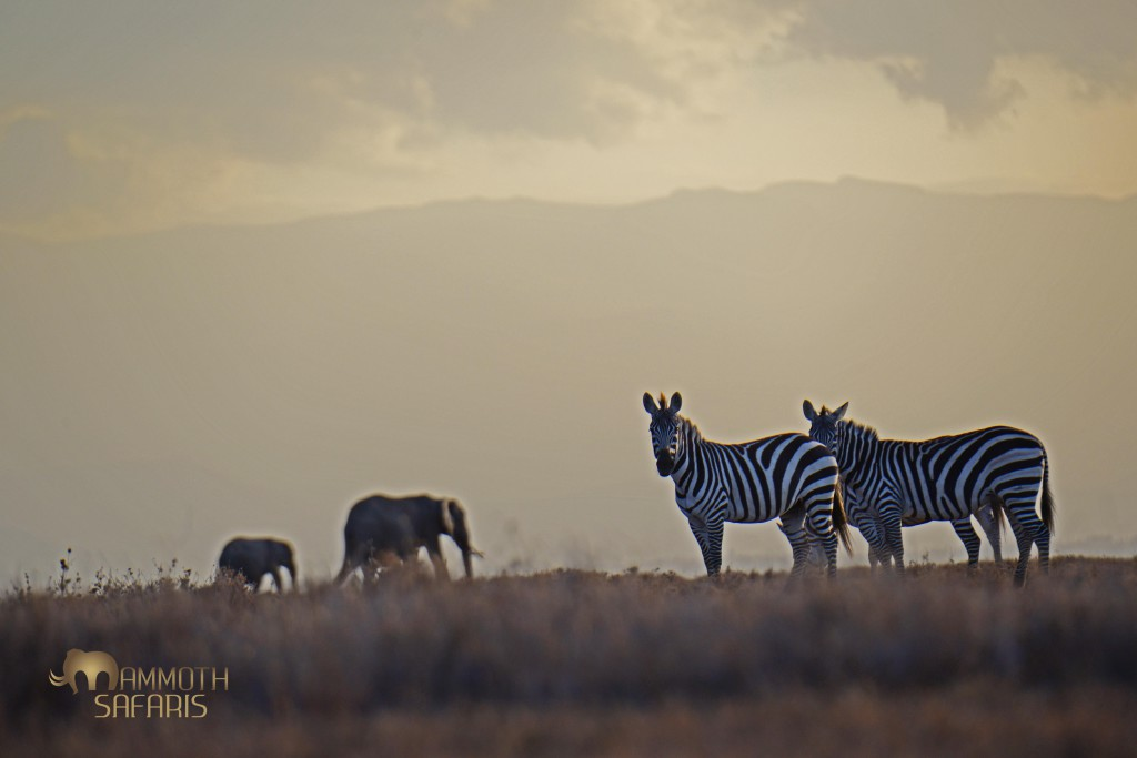 The almost milky late afternoon light on Ol Pejeta provided a fun opportunity to capture the top f the Aberdares as backdrop to the zebras and elephants