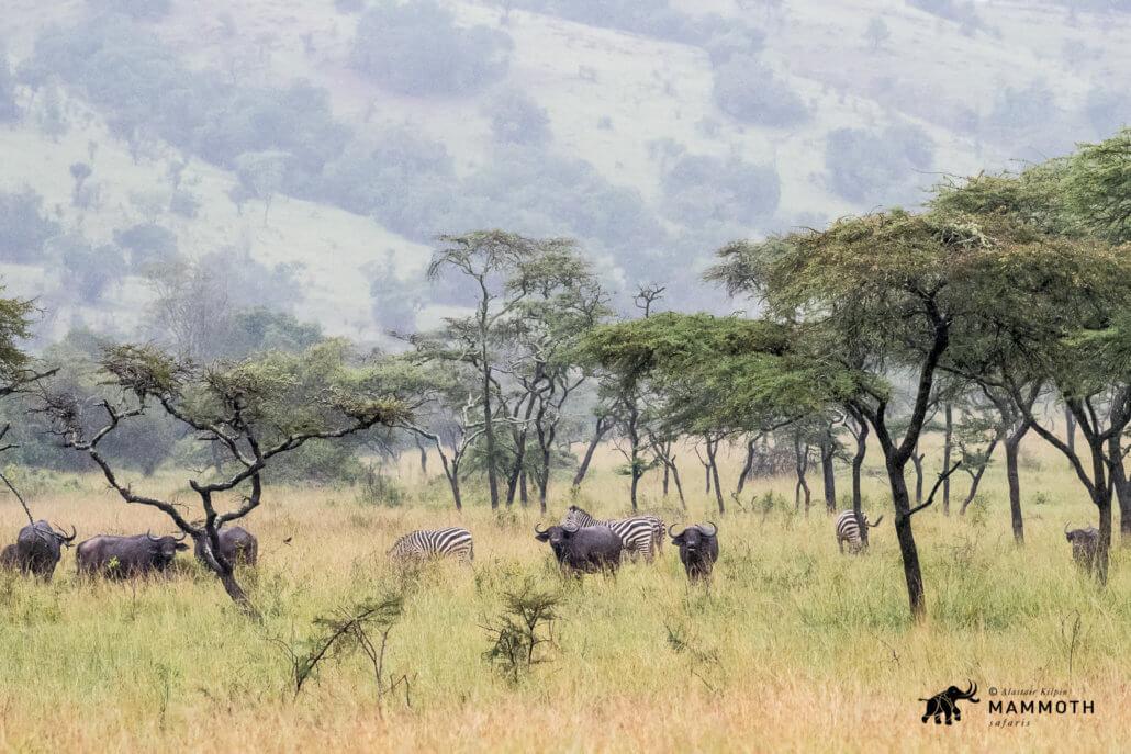 Buffalo Akagera