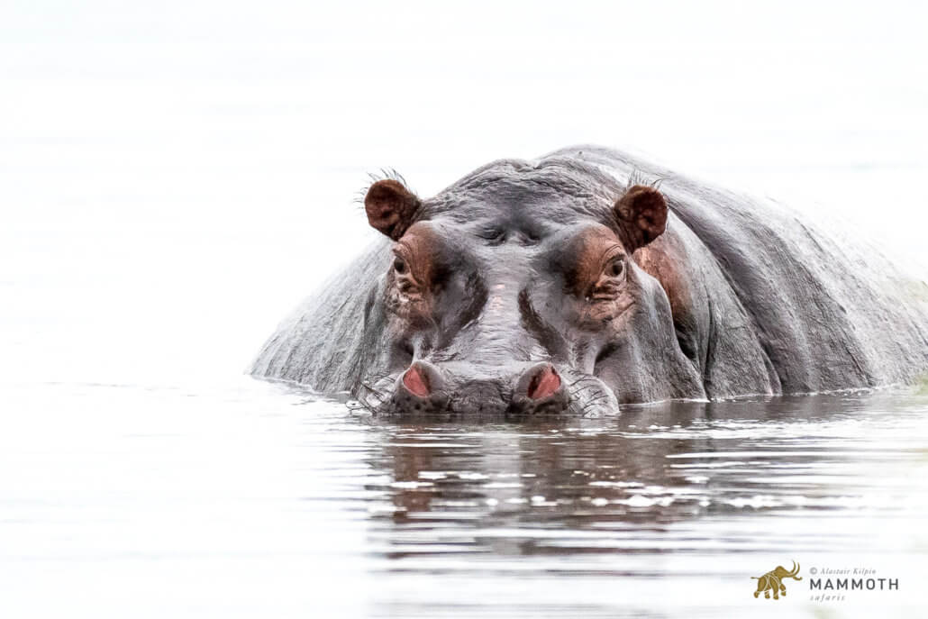Hippo Akagera